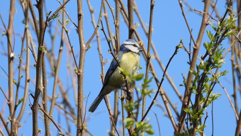 Laulava sinitiainen puun oksalla.